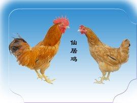 鸡年话鸡(65)——仙居鸡 - hubao.an - hubao.an的博客