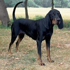 黑褐色浣熊猎犬