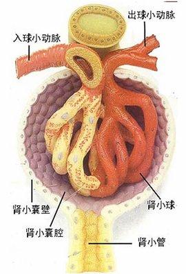 画出肾单位和肾小体结构示意图