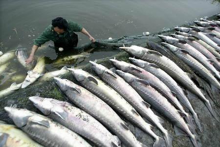 鲟鳇鱼籽的做法_鲟鱼_360百科
