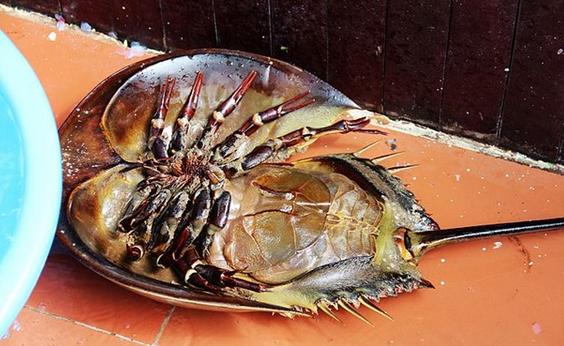 海鲎-鲎是用鳃呼吸的节胶动物,目前世界上仅有4种 中国鲎,美洲鲎,.