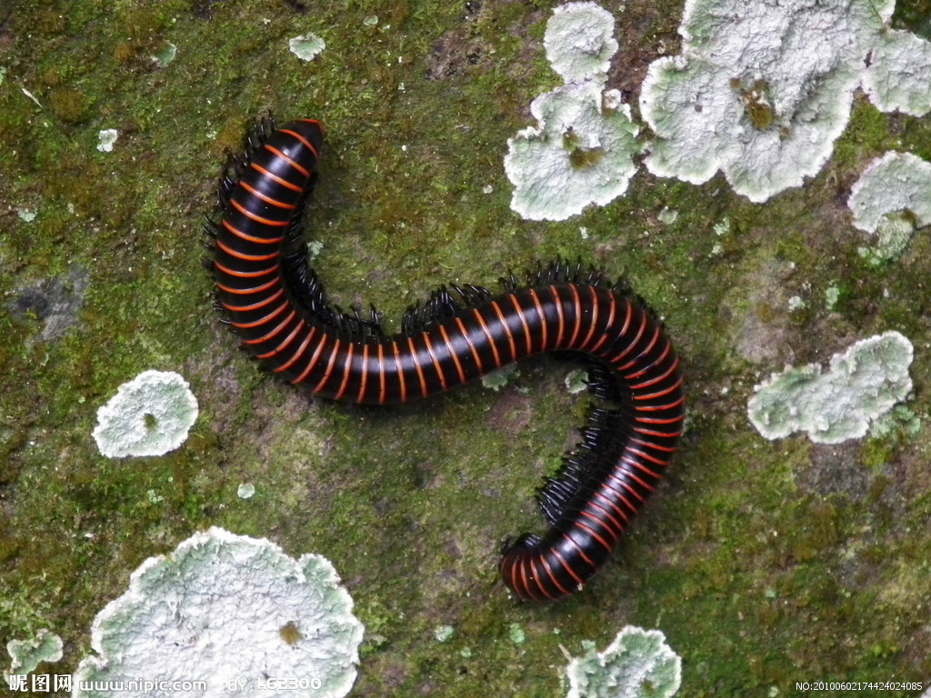马陆虫,又名千足虫,多足纲节肢动物,陆生.