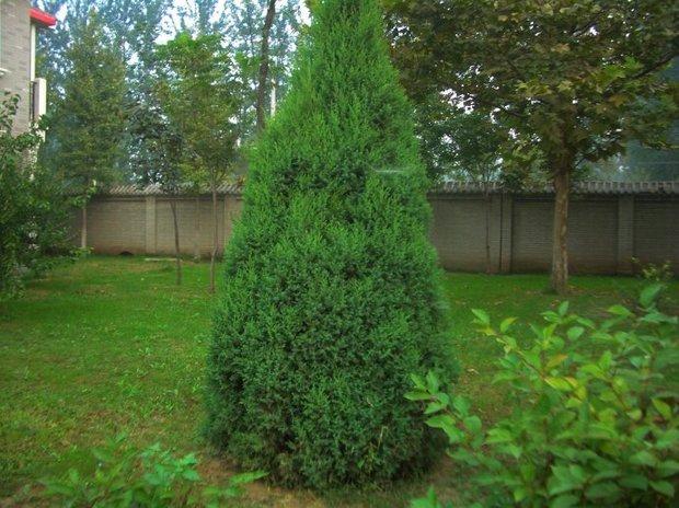 图中的松树或杉树叫什么,这是树的一部分叶子.回答请附图最好.