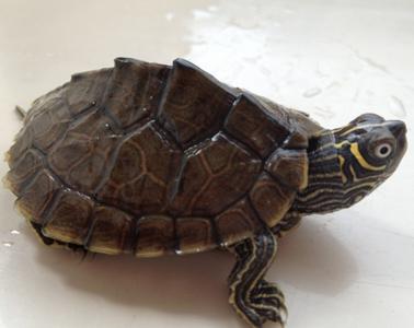 密西西比地图龟饲养 幼体偏肉食_360问答
