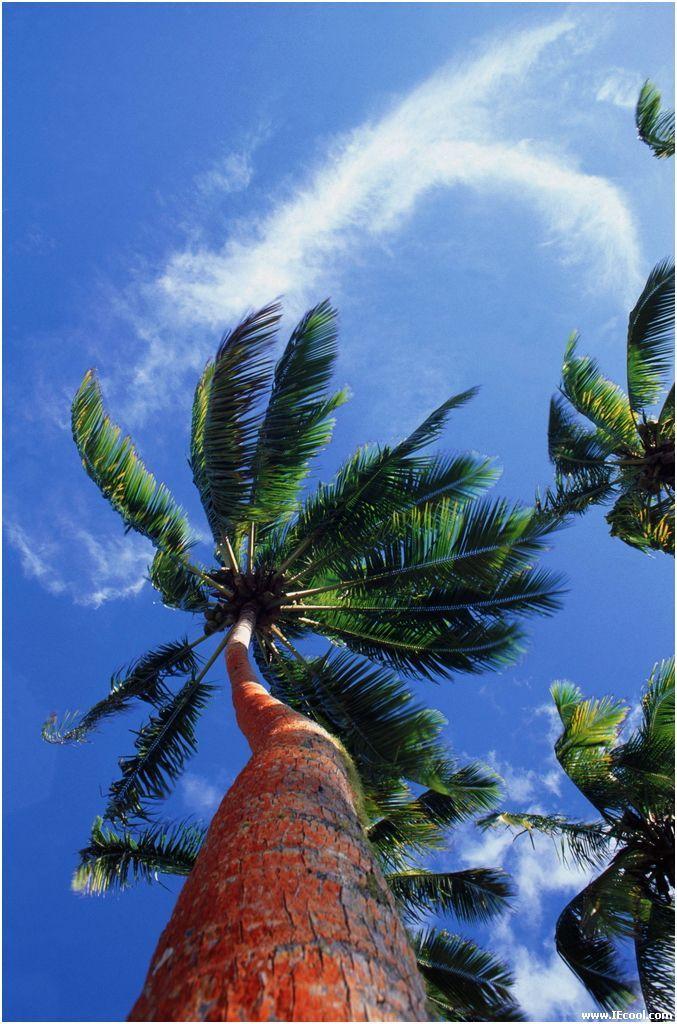 椰子树在海边地势仅高于涨潮水面,有循环的地下水,雨量充足的地方生长