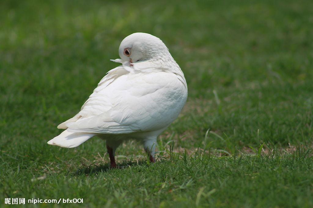 西湖白鸽摄影图__鸟类_生物世界_摄影图库_昵