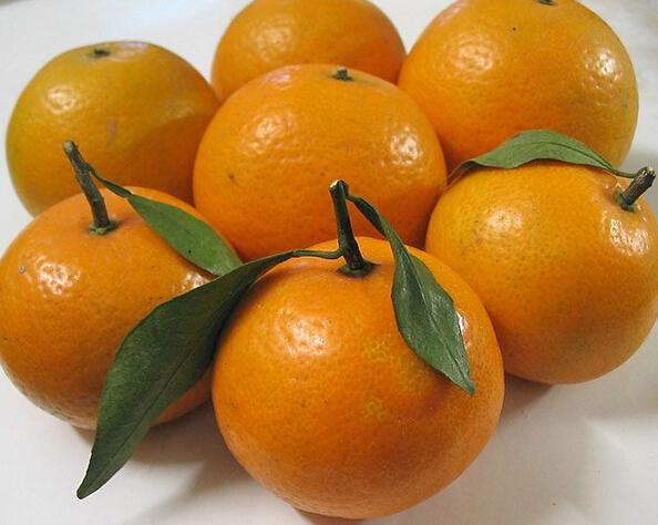 广宁县高度重视沙糖桔产业的发展
