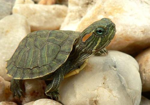 西龟幼龟的环境布置方法   巴西龟 巴西红耳乌龟怎么养   巴西幼龟图