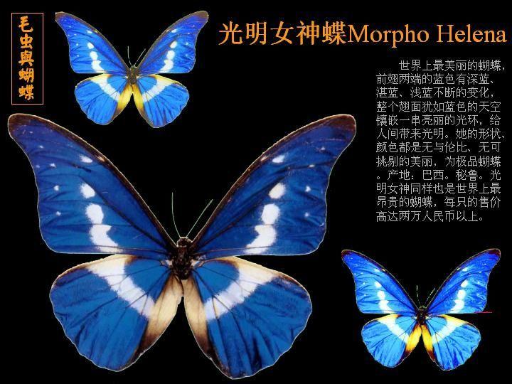 光明女神蝶